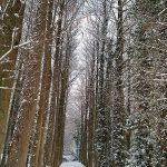 冬のメタセコイアの並木